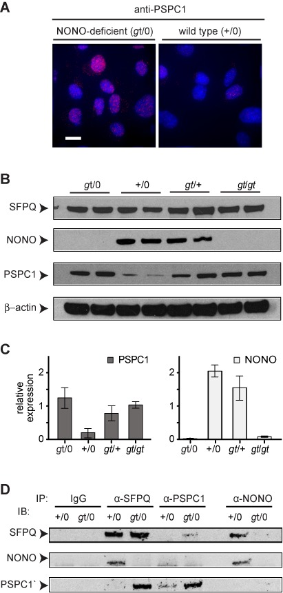 Increased levels of PSPC1 and SFPQ–PSPC1 complex in NONO-deficient cells. ( A ) Immunostaining of WT-2 and gt -2 MEF isolates using anti-PSPC1 antibody. Scale bar, 10 μm. ( B ) Immunoblotting to determine levels of SFPQ, NONO and PSPC1 proteins in cells of indicated genotype. Two independent MEF populations, derived from different embryos, were analyzed for each type. Arrowheads denote proteins as indicated. ( C ) Quantification of data from panel (B). Values are normalized to β-actin. Error bars reflect standard deviation of values from independent MEF populations. ( D ) Immunoprecipitation (IP), followed by immunoblotting (IB), to protein–protein complexes in MEFs of indicated genotypes.