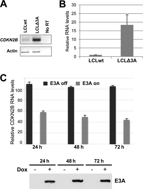 CDKN2B expression in lymphoblastoid cell lines is highly dependent on the presence or absence of EBNA3A. Analysis of CDKN2B mRNA expression levels from a normal LCL (wt) or an LCL established from the same donor but infected with an EBNA3A-deficient recombinant virus (D2 E3AmtB3) (LCLΔ3A) by either standard RT-PCR using actin mRNA as an internal control ( A ) or by real time RT-PCR ( B ). Histogram bars represent values relative to housekeeping gene GAPDH . Error bars represent standard deviation from four independent experiments. ( C ) ΔE3A-LCL doxE3A cells were induced for EBNA3A expression by treatment with 200 ng/ml Dox for 24, 48 or 72 h or left untreated. The percentage of cells expressing the NGFR—a control gene expressed simultaneously with EBNA3A from a common bicistronic promoter—upon Dox treatment was evaluated by FACS to be 65% after 72 h. CDKN2B transcripts in total RNA were quantified by RTqPCR normalized to GAPDH RNA. EBNA3A protein levels were analyzed by western blotting (bottom panel). The data shown are derived from a single experiment but are representative of three experiments. Error bars represent standard deviation from three qPCR replicates.