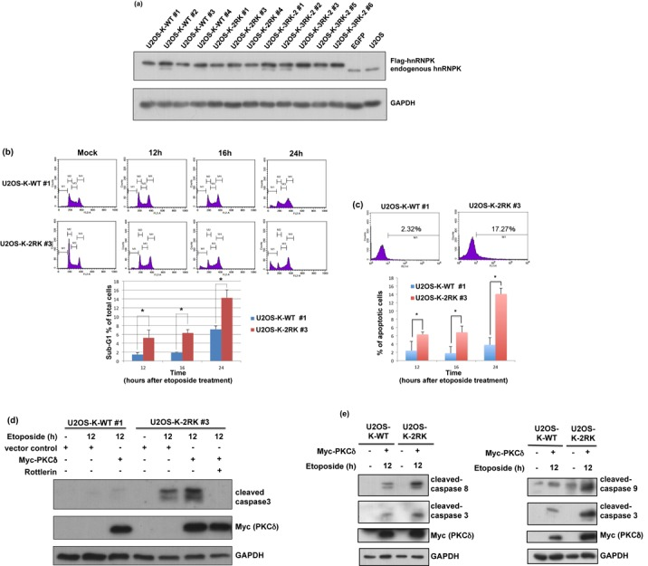 Blockage of Arg299 and Arg296 methylation in hnRNPK promotes U2OS cell apoptosis upon DNA damage. ( a ) Establishment of stable cell lines carrying Arg296 and Arg299 methylation-defective hnRNPK. U2OS cells were simultaneously infected with lentivirus carrying shRNA against endogenous hnRNPK and lentivirus carrying shRNA-resistant WT or 2RK mutant hnRNPKs. The efficiency of knockdown and ectopic expression were determined according to the protein levels of endogenous and exogenous hnRNPKs, measured using hnRNPK and GAPDH antibodies. ( b ) U2OS-K-WT and U2OS-K-2RK (R296K/R299K) cells were transfected with Myc-PKCδ for 24 h and treated with etoposide for the indicated times. The cell lysates were collected, stained with propidium iodide and measured through FACS to calculate the percentages of sub-G1 cells. The data are shown as the mean value and SD from three independent experiments. ( c ) Under the same treatment as described above, the cells were collected at the indicated times and analyzed using a TUNEL assay to determine the percentages of apoptotic cells through FACS. ( d ) U2OS-K-WT and U2OS-K-2RK (R296K/R299K) cells under the same treatment at 12 h were collected and analyzed for the expression levels of Myc-PKCδ, GAPDH and cleaved caspase 3 using specific antibodies. Pretreatment with the PKCδ inhibitor rottlerin in U2OS-K-2RK cells prior to etoposide treatment was also performed. ( e ) Arg296 and Arg299 methylation-defective hnRNPK promotes apoptosis via both extrinsic and intrinsic pathways. U2OS-K-WT and U2OS-K-2RK (R296K/R299K) cells were transfected with Myc-PKCδ, followed by etoposide treatment for 12 h. The expression levels of Myc-PKCδ and GAPDH and cleaved caspases 3, 8 and 9 were measured using specific antibodies.
