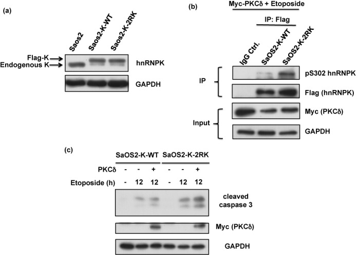 Blockage of Arg296 and Arg299 methylation in hnRNPK promotes apoptosis in a p53-independent manner. ( a ) SaOS-2 cells were simultaneously infected with lentivirus carrying shRNA against endogenous hnRNPK and lentivirus carrying shRNA-resistant WT or 2RK mutant hnRNPKs. The efficiency of knockdown and ectopic expression was determined after measuring the protein levels of endogenous and exogenous hnRNPKs using hnRNPK and GAPDH antibodies. ( b ) The SaOS2-K-WT and SaOS2-K-2RK (R296K/R299K) cells were transfected with Myc-PKCδ for 24 h and subsequently treated with etoposide for 12 h. The cell lysates were collected and analyzed for Myc-PKCδ, GAPDH and cleaved caspase 3 expression levels using specific antibodies.