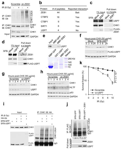 ZEB1 interacts with USP7 which deubiquitinates and stabilizes CHK1 ( a ) SUM159-P2 cells transduced with ZEB1 shRNA were treated with 10 μM MG132, irradiated with 6 Gy IR and harvested 6 hr later. Lysates were immunoprecipitated with the CHK1 antibody and immunoblotted with antibodies indicated. ( b ) A partial list of ZEB1-associated proteins. ( c, d ) 293T cells were transfected with SFB-ZEB1 ( c ) or SFB-USP7 ( d ), followed by pull-down with streptavidin-sepharose beads (s-s beads) and immunoblotting with antibodies indicated. ( e ) Top: bacterially purified GST-USP7 was incubated with amylose resin conjugated with bacterially expressed MBP-GFP or MBP-ZEB1. Proteins retained on the amylose resin were immunoblotted with the USP7 antibody. Bottom: bacterially purified recombinant proteins were analyzed by SDS-PAGE and Coomassie blue staining. * indicates the predicted position. ( f ) 293T cells were transfected with SFB-USP7 and treated with cycloheximide (CHX). Cells were harvested at different time points and immunoblotted with antibodies indicated. ( g, h ) SUM159-P2 cells were transfected with USP7 siRNA (si-USP7, g ) or transduced with ZEB1 shRNA (sh-ZEB1, h ), and treated with cycloheximide. Cells were harvested at different time points and immunoblotted with antibodies indicated. ( i ) HA-ubiquitin was co-transfected with SFB-GFP or SFB-USP7 into 293T cells. Lysates from cells with or without 6 Gy IR treatment were immunoprecipitated with the CHK1 antibody and immunoblotted with the HA antibody. Cells were treated with MG132 (10 μM) for 6 hr before harvest. ( j ) Top: ubiquitinated CHK1 was incubated with SFB-GFP control or SFB-USP7 purified with streptavidin-sepharose beads from 293T cells with or without ZEB1 co-transfection. The reaction mixture was then immunoprecipitated with the FLAG antibody and immunoblotted with the CHK1 antibody. Bottom: purified SFB-USP7 was immunoblotted with antibodies to ZEB1 and USP7. ( k ) Clonogenic survival assays of USP7 