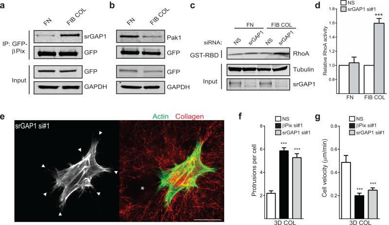 A collagen-specific GEF/GAP interaction between βPix and srGAP1 regulates suppression of RhoA activity. ( a ) Immunoprecipitation of GFP-βPix from βPix knockdown/rescue HFFs migrating on fibronectin (FN) versus fibrillar collagen (FIB COL) identifies a collagen-specific GEF/GAP interaction between βPix and srGAP1. ( b ) Concurrent decreased association of βPix with known effector <t>Pak1</t> when migrating on fibrillar collagen. Blots are representative of three independent experiments. ( c ) RhoA activity determined by GST-RBD binding from NS and srGAP1 siRNA-treated HFFs migrating on fibronectin or fibrillar collagen environments. ( d ) Quantification of bands again revealed a 40-60% collagen-specific increase in RhoA activity after loss of srGAP1 (mean ± s.e.m., n = 3 independent western blots, t -tests). ( e ) srGAP1 knockdown HFFs were cultured overnight in 3D collagen gels. Fixation and labeling with Alexa488-phaloidin revealed a rounded, protrusive (white arrowheads) morphology akin to βPix knockdown. Similarly, srGAP1 knockdown fibroblasts severely alter collagen fiber arrangement (red, reflection microscopy) adjacent to the cell. Hole in matrix marked by white asterisk; scale bar, 25 μm. ( f ) Quantification of cell protrusions in cells treated with srGAP1 siRNA in 3D collagen. n = 36, 36, and 24 cells for NS, βPix si#1, and srGAP1 si#1 were assessed across three independent experiments (mean ± s.e.m., one-way ANOVA with Bonferroni multiple comparisons correction). ( g ) Quantification of cell velocity in cells treated with srGAP1 siRNA in 3D collagen. n = 25, 24, and 21 cells for NS, βPix si#1, and srGAP1 si#1 were assessed across three independent experiments (mean ± s.e.m., one-way ANOVA with Bonferroni multiple comparisons correction). Statistical source data can be found in Supplementary Table 2 , *** P