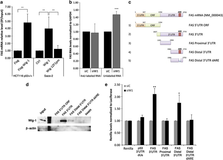 Wig-1 binds to the 3′-UTR of FAS mRNA and regulates its stability through the ARE. RNA immunoprecipitation was performed in HCT116 cells transiently transfected with pCMVtag2b (Flag) or pCMVtag2bhWig-1 (Flag-Wig-1) and in Saos-2 TetON cells without insert (Ctrl) or Saos-2 TetON cells stably transfected with either Flag-tagged wt Wig-1 (Wig-1) or a Flag-tagged Wig-1 zinc-finger 1 point mutant that cannot bind to RNA (Wig-1ZF1pm) ( a ). Wig-1 was precipitated with anti-Flag beads, and bound RNA was purified and quantified by qRT–PCR. GAPDH mRNA levels were used as internal control. Labeling of nascent RNA with 4-sU, RNA extraction, conjugation of the 4-sU to biotin and separation of nascent and older RNA with streptavidin beads followed by qRT–PCR analysis of the two populations separately showed no significant variation in the 4-sU-labeled RNA, whereas we observed an increase in the older, unlabeled RNA population after Wig-1 knockdown. GAPDH was used as internal control ( b ). Biotin pull-down assay using FAS 5′-UTR-ORF, FAS 3′-UTR, FAS 3′-UTR distal and FAS 3′-UTR distal dARE probes ( c ) followed by western blotting for Wig-1 shows that Wig-1 binds to the ARE in the 3′-UTR of FAS. ( d ). Representative image from one of two independent experiments. To determine whether the ARE is required for Wig-1 regulation of FAS mRNA, we generated the constructs 2–5 described in ( c ) or the p53 3′-UTR lacking the ARE as negative control and cloned them downstream of the Renilla reporter into the psiCheck-2 vector. Luciferase assays confirmed that the ARE in the 3′-UTR of FAS mRNA is essential for regulation by Wig-1, as constructs lacking this ARE do not show increased activity after Wig-1 depletion ( e ). Columns and error bars in ( a ), ( b ) and ( e ) represent the mean±s.d.; n =3; *** P