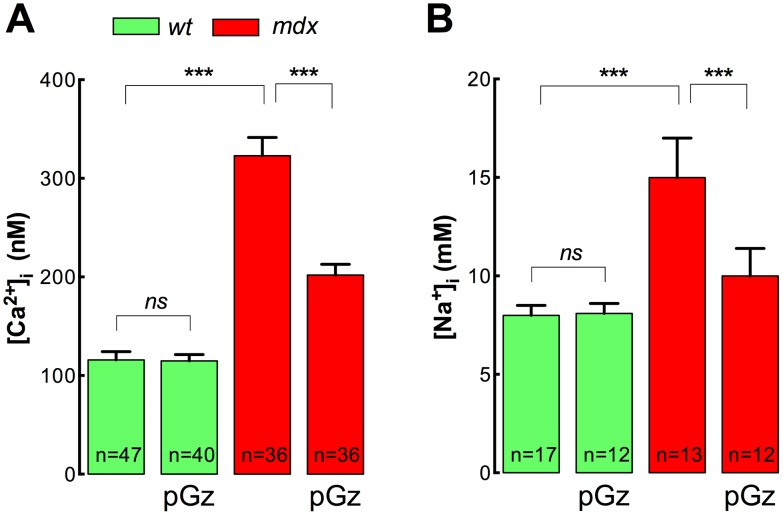 pGz reduces [Ca 2+ ] i and [Na + ] i in mdx myotubes. Myotubes were treated with pGz (120 cpm, 12 h) and ion concentrations were measured using double-barreled ion selective microelectrodes. A. [Ca 2+ ] i and B. [Na + ] i determinations. Data are expressed as mean ± S.E.M. *** P