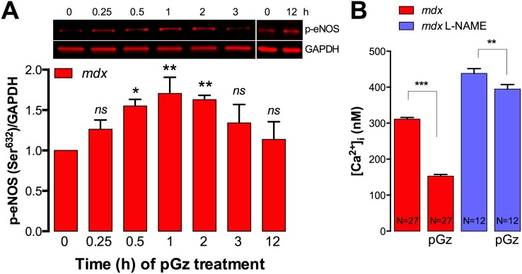 pGz activates eNOS in dystrophic myotubes. A. Myotubes were treated with pGz (120 cpm, 12 h) for the indicated times, quickly lysed in modified RIPA buffer and eNOS phosphorylation (Ser632) was assessed by western blot. B. L-NAME treatment blocks the pGz-induced reduction of [Ca 2+ ] i in mdx myotubes. Data are expressed as mean ± S.E.M. * P