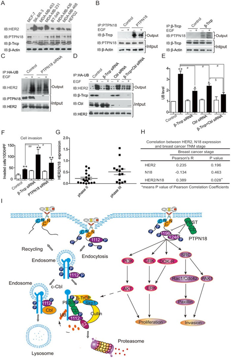 HER2 ubiquitination is regulated by the PTPN18/β-Trcp complex in breast cancer cell lines and the HER2/PTPN18 ratio (expression ratio) is correlated with breast cancer stage. (A) Protein expression levels of PTPN18 and HER2 in seven breast cancer cell lines and HepG2. (B) Endogenous interaction between PTPN18 and β-Trcp was revealed by co-immunoprecipitation in MCF-7 cells. Left: PTPN18 was immunoprecipitated with protein A+G agarose beads and PTPN18 antibody with or without 100 ng/ml EGF stimulation for 30 min. PTPN18-associated β-Trcp was detected with a specific β-Trcp antibody. Right: reverse immunoprecipitation of PTPN18 with the β-Trcp antibody. (C) MCF-7 cells were transfected with HA-ubiquitin and PTPN18 siRNA. After 48 h, cells were stimulated with 100 ng/ml EGF for 4 h. Ubiquitinated HER2 was immunoprecipitated by anti-HA resin and detected with an anti-HER2 antibody. (D) Coordinated regulation of EGF-induced HER2 ubiquitination by β-Trcp and c-Cbl. MCF-7 cells were transfected with HA-ubiquitin and siRNAs directed against β-Trcp or c-Cbl. Ubiquitinated HER2 was examined with an anti-HER2 antibody as in C . (E) The relative ubiquitinated HER2 level in D was quantified and shown as a bar graph. * P