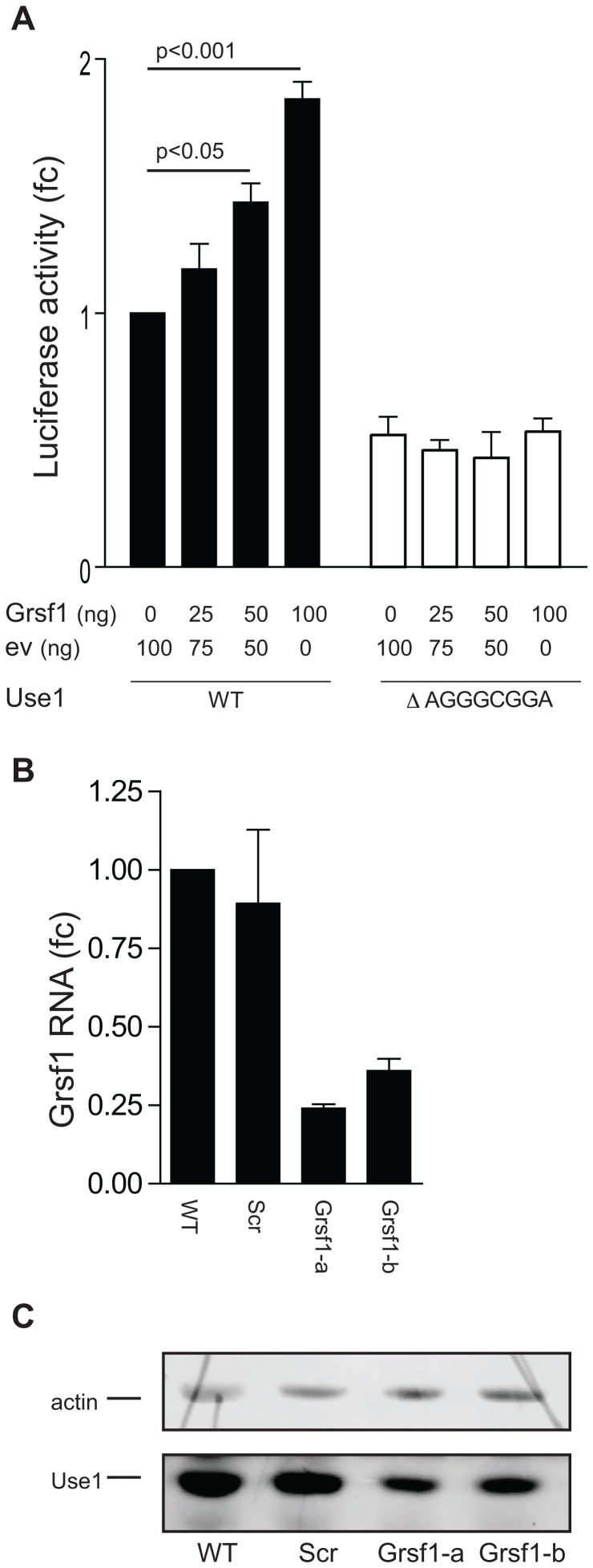 Grsf1 controls translation of Use1. ( A ) Luciferase reporter constructs harboring the Use1 wt 5′UTR (WT, black bars), or a 5′UTR lacking the AGGGCGGA repeat (open bars), were transfected in NIH3T3 cells together with increasing amounts of a Grsf1 expression plasmid. The total amount of transfected DNA was kept constant by adding additional backbone plasmid DNA (EV, pcDNA3.1). Luciferase activity is corrected for mRNA expression and given as fold-change (fc) compared to WT reporter in absence of Grsf1 overexpression. Error bars indicate standard deviation of 3 experiments. ( B ) I/11cells were transduced with the lentiviral constructs containing two different shRNAs matching Grsf1 (indicated a and b) or control shRNA (Scr). The efficiency of Grsf1 transcript knock down was determined using RT-PCR. The expression of Grsf1 in parental cells is set to 1. Error bars indicate standard deviation of 3 experiments. ( C ) The protein lysates from transduced I/11 cells (representative experiment from B) were tested in WB with anti-actin (42 kDa) and anti-Use1 (30.5 kDa) antibody.