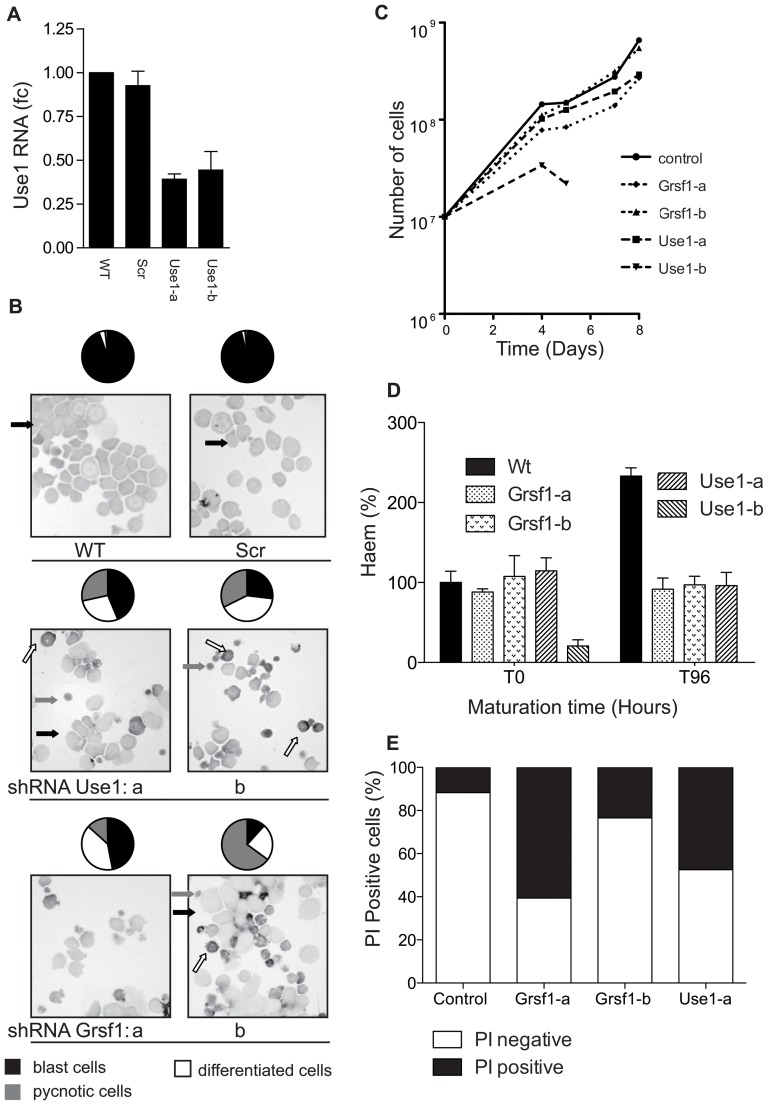 Reduced expression of Use1 or Grsf1 abrogates expansion of erythroblasts. Erythroblasts (I/11 cell line) were transduced with lentiviral shRNA vectors repressing expression of Use1 (2 distinct sequences, indicated a and b) or Grsf1 (2 distinct sequences, indicated a and b). Panels show representative data from 1 of 4 replicates. ( A ) Use1 RNA expression was controlled by RT-PCR 4 days following transfection. For Grsf1 knockdown see figure 4B ) ( B ) Cytospins of the cultured cells made 4 days post transduction showed mainly blasts when expressing control shRNA (Scr). Expression of shRNAs matching Use1 or Grsf1 increased the number of more mature hemoglobinised cells (Dark staining, white arrows) and pycnotic cells (grey arrows). A quantification of cell types, based on counting > 300 cells, is shown above the cytospin as pie-diagram (black, blasts; white, maturing red cells; grey, pycnotic cells). ( C ) shRNA treated cells were counted daily, kept at 2×10 6 /ml and cumulative cell numbers were calculated. ( D ) At the start and 96 hours following induction of differentiation the hemoglobin concentration was measured and calculated as Hb/cell volume in arbitrary units (A.U.). ( E ) At 96 hours the ratio of life/dead cells was determined by staining with propidium iodide (PI). Cells positive for PI were measured by flowcytometry (LSRII, BD).