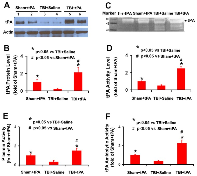tPA protein level and activity as well as plasmin activity in rat brain. Western blot analysis of tPA protein levels in the rat brain 24 hr after intranasal administration of tPA (A). Bar graph (B) shows the tPA protein level. Of note, Sham+tPA rats received the same amount of intranasal tPA administration as TBI+tPA rats did. Representative zymographic assay (C) shows an increase in tPA activity in the Sham+tPA rats and TBI+tPA rats compared to TBI+Saline rats. h-r-tPA: human recombinant tPA (15 ng, Genentech). Bar graph (D) shows the tPA activity. Bar graph (E) shows amidolytic activity of plasmin assayed with D-Val-Leu-Lys-p-Nitroanilide Dihydrochloride (S-2251) as its specific substrate. Bar graph (F) shows tPA amidolytic activity with S-2251 as the substrate in the presence of added plasminogen compared to Sham. * p