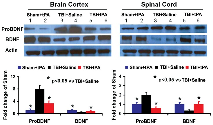 Western blot analysis of ProBDNF and mature BDNF protein levels in the brain and spinal cord. Left panel (ipsilateral brain cortex): Sham+tPA (1, 2), TBI+Saline (3, 4); 3: TBI+tPA (5, 6); Right panel (denervated cervical spinal cord): Sham+tPA (1, 2), TBI+Saline (3, 4), TBI+tPA (5, 6). * p