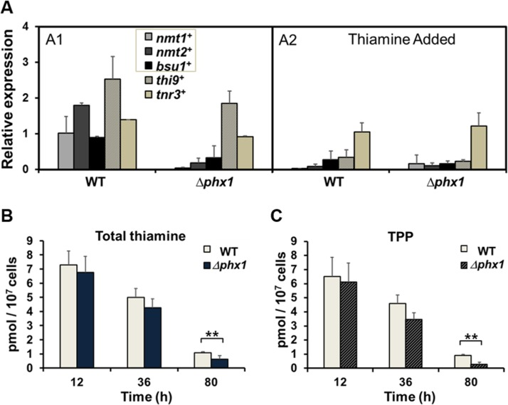 Thiamine supply is activated by Phx1 ( A ) The mRNA levels of genes involved in thiamine biosynthesis ( nmt1 + , nmt2 + ), transport ( bsu1 + , thi9 + ), and metabolism ( tnr3 + ) in wild type (WT; JH43) and Δphx1 (ESX5) mutant. Cells were grown in minimal media to either exponential or stationary phases, with (A2) or without (A1) adding 10 μM thiamine. The gene-specific mRNA levels were measured by qRT-PCR, along with that of act1 + mRNA as an internal control. Each internally normalized expression level at stationary phase was presented in the figure as a relative value to the level in exponential cells. Average values from three independent experiments were presented with standard deviations. ( B, C ) Intracellular levels of total thiamine pool ( B ) and TPP ( C ). Wild-type and Δphx1 mutant cells grown in minimal media were harvested at early exponential (12 h), late exponential (36 h), and late stationary (80 h) phases. Thiamine and thiamine phosphates (TMP, TPP) were extracted and measured by HPLC. Total thiamine is the sum of thiamine and thiamine phosphates. Average values with standard deviations (error bars) from at least three independent experiments were presented. Asterisks (**) represents p-value of