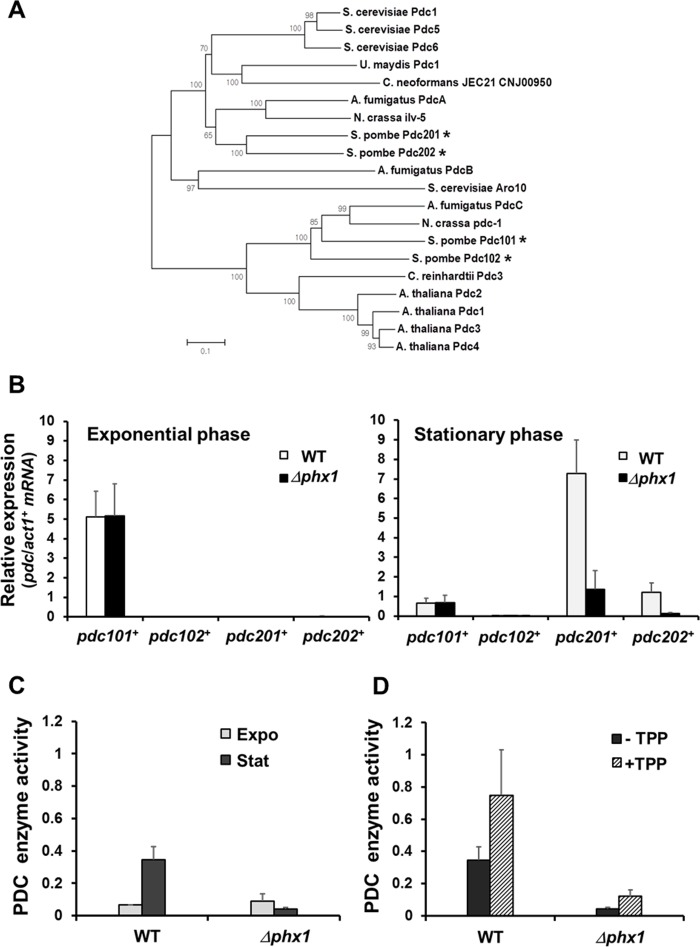 Stationary phase-specific pyruvate decarboxylases are regulated by Phx1 ( A ) The phylogenetic relatedness of various fungal PDC proteins. Amino acid sequences were aligned with ClustalW program, and a phylogenetic tree was constructed using the Neighbor-Joining method in MEGA 5 program. A Bootstrap test was performed for 1000 replicates and the values were indicated at each node. ( B ) Expression levels of pdc101 + , pdc102 + , pdc201 + , and pdc202 + genes in the wild type (JH43) and Δphx1 mutant (ESX5) at two growth phases. RNA samples were obtained from cells grown in EMM for 18 and 50 h for exponential and stationary phase cultures, respectively. The amounts of gene-specific mRNAs were estimated by <t>qRT-PCR,</t> along with that of act1 + mRNA as an internal control. Relative expression values to act1 + mRNA were obtained from three independent experiments, and were presented as an average with standard deviations. ( C ) Phx1-dependent PDC enzyme activity. Cell extracts were obtained from cells as described in ( B ). Pyruvate decarboxylase activity was measured as described in the text. Average values from three independent experiments were presented with standard deviations. ( D ) Effect of TPP addition on PDC activity. Experiments were done as in ( C ), except that TPP was added at 100 μM (final) to cell extracts.