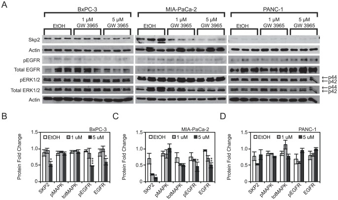 GW 3965 downregulates oncogenes involved in cancer progression. A, GW3965 treatment downregulates SKP2 and EGFR protein levels in BxPC-3 and MIA-PaCa-2 cells. Downregulation of EGFR was concomitant with a downregulation of its own phosphorylation in BxPC-3 and MIA-PaCa-2 at 5 uM GW 3965. ERK1/2 and its phosphorylation were not statistically different in any of the cell lines B, C, D Densitometric quantification of SKP2, EGFR, Phospho-EGFR, ERK1/2, and Phospho-ERK1/2 upon treatment with GW3965. Samples were normalized to actin controls. Asterisks indicated statistically significant changes.