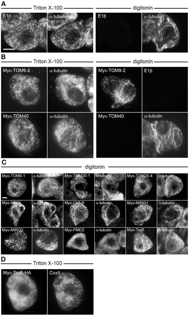 Topological mapping of selected A. thaliana OMM-TA proteins in differentially permeabilized BY-2 cells . Non-transformed (A) or transiently-transformed (B–D) BY-2 cells were formaldehyde fixed and permeabilized (as indicated above each set of images) with either Triton X-100, which perforates all cellular membranes, or, digitonin, which selectively permeabilizes the plasma membrane, then cells were processed for immuno-epifluorescence microscopy. Also indicated in each panel is the name of the immunostained transiently-expressed Myc-tagged protein or endogenous protein (i.e., E1β, CoxII or α-tubulin). Note that the presence or absence of immunofluorescence reflects whether the protein (epitope) was accessible to the applied antibodies. For instance, similar to α-tubulin in cytoplasmic microtubules (A) , N-terminal Myc-tagged TOM9-2 (B) and all other known or putative TA proteins examined (C) , but not endogenous E1β in the mitochondrial matrix or the control protein, Myc-TOM40 (B) , were immunodetected in digitonin-permeabilized cells. Note also in (D) that Myc-TraB-HA did not colocalize with endogenous mitochondrial CoxII, indicating that the expressed protein, unlike Myc-TraB (Figure 1 ) is not properly targeted to mitochondria. Bar in (A,C) = 10 μm.
