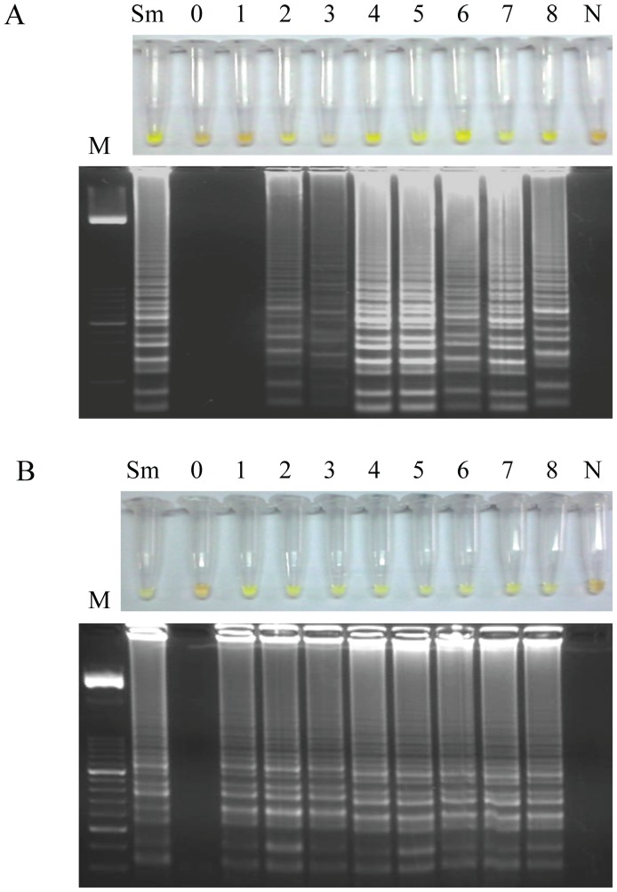 Examination of stool samples weekly obtained from mice infected with 200 S. mansoni cercariae. (A) By using the <t>Loopamp</t> <t>DNA</t> amplification kit . (B) By using the SmMIT-LAMP developed in this study. Figure shows the results obtained in feces samples weekly obtained from week 0 p.i. to week 8 p.i. from an infected mouse randomly selected. Identical results were obtained in all infected mice. Lanes M, 50 bp DNA ladder (Molecular weight marker XIII, Roche); lanes Sm, S. mansoni DNA, as positive control (1 ng); lanes 0–8, weeks 0, 1, 2, 3, 4, 5, 6, 7 and 8 p.i., respectively; lanes N; DNA mix from pooled DNA samples obtained from feces from non-infected mice, as negative control.