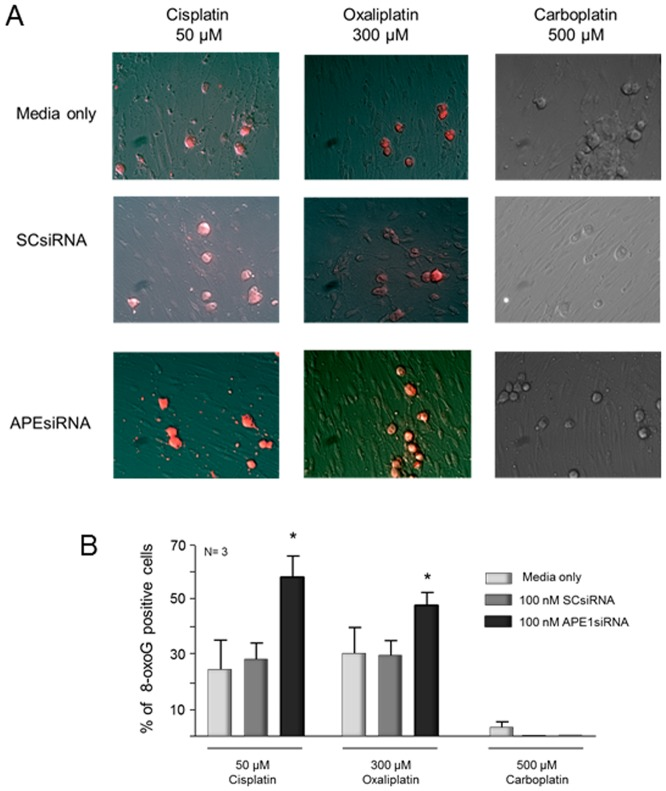 """Platinum-induced oxidative DNA damage measured by 8-oxoG DNA adduct immunocytochemistry is increased by reducing APE1 expression in cisplatin and oxaliplatin treated sensory neuronal cultures. The top panels (A) show representative immunohistochemical staining for 8-oxoG DNA adducts in control (media), scrambled (SCsiRNA) or APE1 knockdown (APEsiRNA) from cultures after 24 hrs treatment with cisplatin (50 µM), oxaliplatin (300 µM) or carboplatin (500 µM). The bottom panels (B) represent the quantitation of the 8-oxoG positive staining cells as described in """"Methods."""" The columns represent the mean ± SEM from cultures treated with media along (lightly shaded columns), SCsiRNA (medium shaded columns) or APE1siRNA (heavy shaded columns). An asterisk indicates a statistically significant increase in 8-oxoG in cells treated with APE1siRNA compared to those treated with SCsiRNA."""