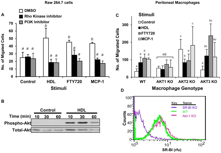HDL stimulated macrophage migration involves Rho kinase and <t>PI3K-Akt</t> 1 signaling. A. RAW 264.7 cells were cultured in media containing 3% NCLPDS for 18 hrs. Cells were pre-incubated with 10 µM of either the Rho Kinase inhibitor, Y-27632, or the PI3K inhibitor LY294002, or with DMSO vehicle for 30 min and then the migration in response to HDL (100 µg protein/ml), FTY720 (2 ng/ml) or MCP-1 (100 ng/ml) was measured in the continued presence or absence of the indicated inhibitors. B. RAW 264.7 cells were serum starved for 18 hrs, washed and treated with or without HDL (100 µg protein/ml) for 10, 30 or 60 min. Equal amounts of proteins were analyzed by SDS-PAGE and immunoblotting for either <t>phospho-Ser473-</t> or total-Akt. C. MPM's were harvested from 6 independent WT, Akt1 KO, Akt2 KO or Akt3 KO mice. Migration in response to no stimulus, HDL (100 µg protein/ml), FTY720 (2 ng/ml) or MCP-1 (100 ng/ml) was measured. Data from A and C are means ± standard deviations of 6 replicates done over two independent experiments. Values identified with different letters are statistically significantly different (P