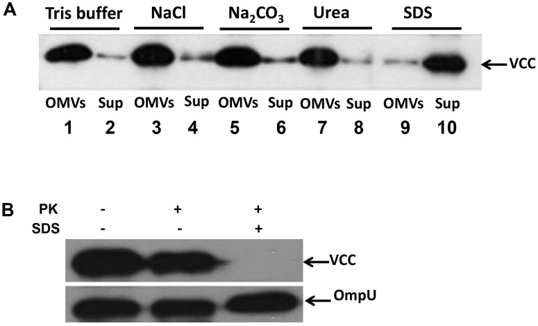 VCC is tightly associated with NOVC OMVs. (A) Dissociation assays using OMVs from the NOVC strain V:5/04. Samples of OMVs in 20 mM Tris-HCl pH 8.0 were treated for 60 min on ice in the presence of: 20 mM Tris-HCl pH 8.0 (buffer), NaCl (1 M), Na 2 CO 3 (0.1 M), urea (0.8 M), SDS (1%), respectively. Samples were then centrifuged and the resulting OMVs (lanes 1, 3, 5, 7, 9) and Sup (lanes 2, 4 6, 8, 10) were analyzed by immunoblot using anti-VCC antibody. (B) Proteinase K protection assay. An equal amount of vesicles from the wild type NOVC strain V:5/04 was treated with 1.0 µg ml −1 of proteinase K (PK) in the presence or absence of 1% SDS. Samples were subjected to immunoblot analysis using anti-VCC antiserum and the OmpU protein (detected by anti-OmpU antiserum) was used as internal control.