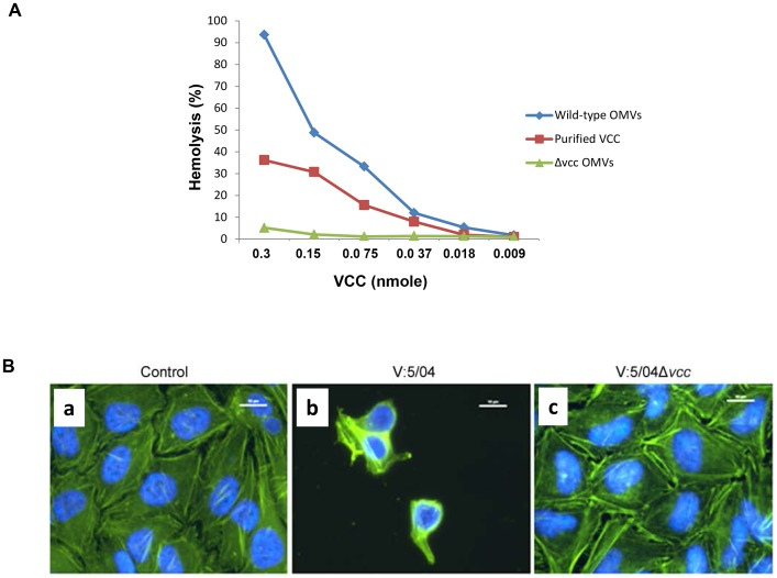 Hemolytic and cytotoxic effects of OMV-associated VCC. (A) Quantification of hemolytic activity of VCC in OMVs and comparison with activity of purified VCC. Contact hemolytic assay using 5% rabbit red blood cells was performed as described in the materials and methods. (B) Cytotoxic effect on HeLa cells (a) Control cells were treated with Tris buffer; (b) cells were treated with OMVs from wild type NOVC strain V:5/04; (c) cells were treated with OMVs from the Δ vcc mutant. After 6 h the HeLa cells were fixed, permeabilized, and then subjected to staining as described in the materials and methods. Staining, actin filament (green) and nucleus (blue). Magnification, ×1000. Bars = 10 µm.