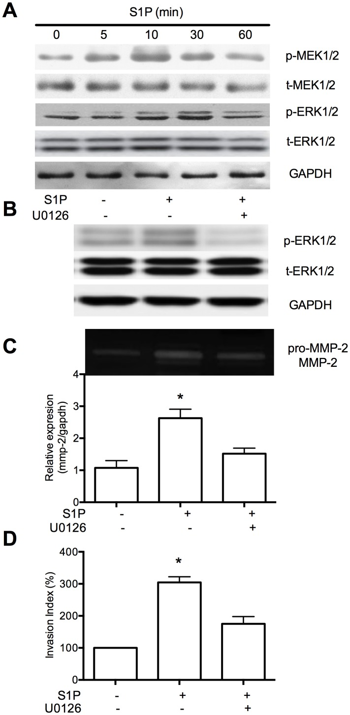 <t>MEK1/2-ERK1/2</t> signaling pathway is essential for S1P-induced MMP-2 upregulation and invasion of HTR8/SVneo cells. (A) Cells were treated with 10 nM S1P for the indicated time. The level of phosphorylated MEK1/2, ERK1/2 were determined by western blot using phospho-specific antibodies (p-MEK1/2, pERK1/2 respectively). (B), Pretreatment of cells with 10 µM U0126, an inhibitor of MEK1/2, for 60 minutes resulted in significantly less of ERK1/2 phosphorylation (B), which downregulated level of MMP-2 (C). The invasion of MEK1/2 induced by S1P was also inhibited(D). N = 3 performed in triplicate and values were expressed as mean ±SEM with p