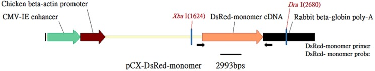 The DsRed-Monomer transgenic construct pCX-DsRed-Monomer. Arrows indicate the positions of the PCR DsRed primers. XbaI and DraI were restriction enzyme digestion sites. The thick black line indicates the position of the Southern blot probe.