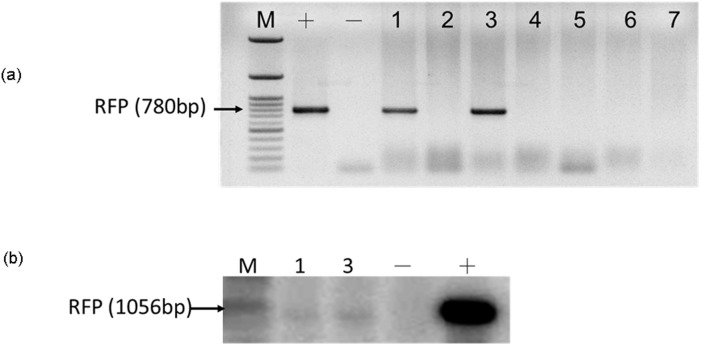 Transgenic founder pigs carrying the DsRed gene were detected by (a) PCR and (b) Southern blot analysis. The presence of transgenes in DsRed2 pigs were confirmed by using a DsRed primer, which produced a 780-bp PCR product. The genomic DNA of these 2 transgenic pigs (Nos. 1 and 3) were digested using XbaI and DraI. The digested DNA was subsequently hybridized using a 1.1-kb probe.