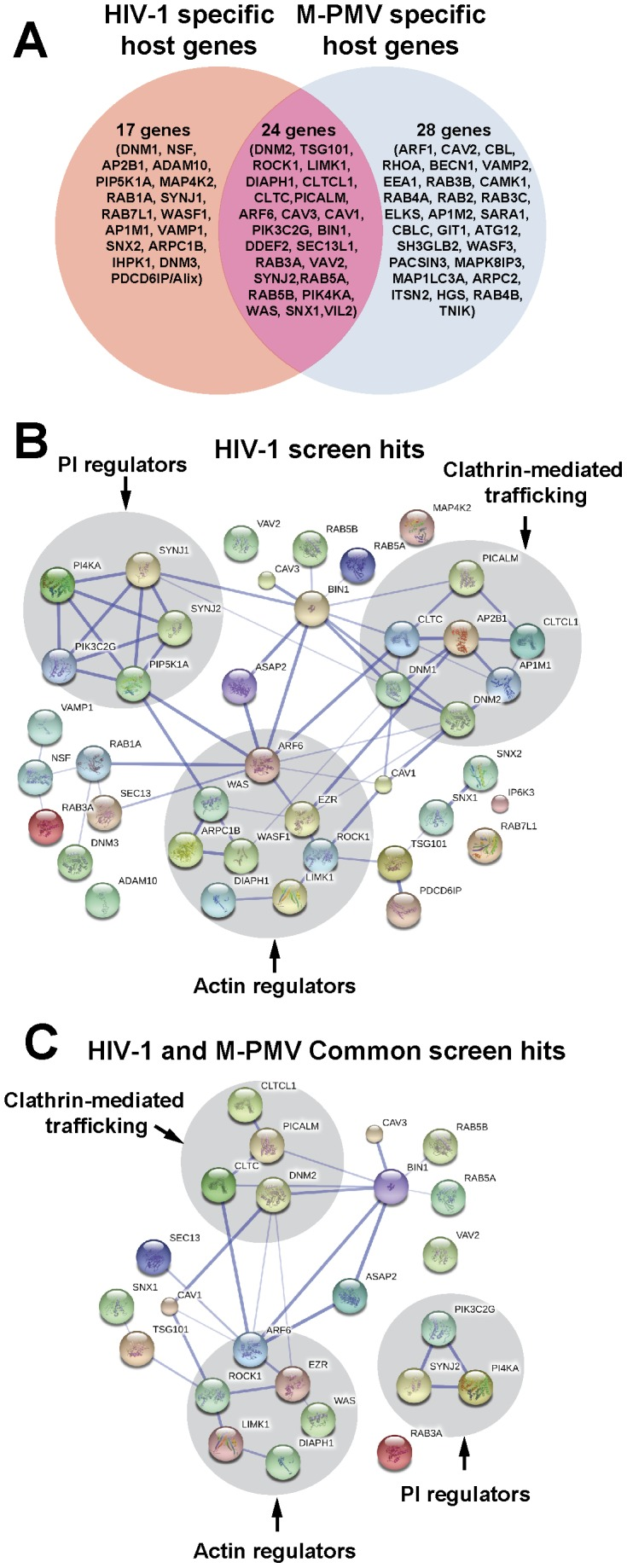 Bioinformatics analyses of siRNA screen hits. (A) Venn diagram of siRNA hits identified in this work. We identified 41 host proteins in HIV screen and 52 host proteins in M-PMV screen. There were 24 host proteins that were common for both HIV-1 and M-PMV. (B) Protein interaction network of HIV1 screen hits (Stronger associations are represented by thicker lines). A map of the interactions of our HIV screen hits was built by using STRING 9.05 with a required medium confidence score (0.400). Analysis of the network revealed clusters of interrelated factors involved in three distinct pathways (highlighted in grey circle): cellular actin cytoskeletal regulation pathways, clathrin-mediated trafficking factors and regulators of phosphoinositide metabolism. (C) Protein interaction network of the common screen hits for both HIV-1 and M-PMV (Stronger associations are represented by thicker lines). The interactions map of 24 host proteins that were common for both HIV-1 and M-PMV was built by using STRING 9.05 with a required medium confidence score (0.400). Factors involved in clathrin-mediated trafficking, regulation of the actin cytoskeleton, and phosphoinositide metabolism (highlighted in grey circle) were identified to affect both HIV-1 and M-PMV assembly or release.