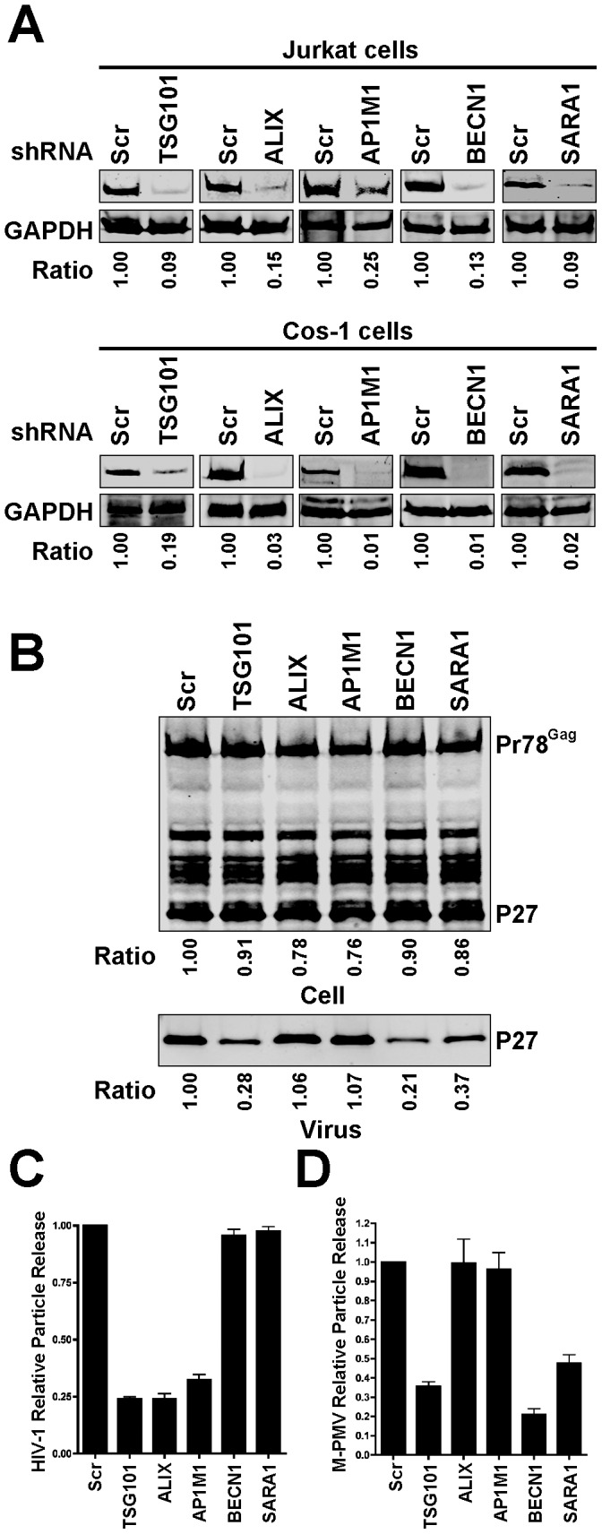 Effect of silencing of TSG101, ALIX1, AP1M1, BECN1 and SARA1 on HIV-1 and M-PMV particle output. (A) Quantitative western blots showing knockdown efficiency of the individual genes in Jurkat cells and Cos-1 cells. Jurkat cells and Cos-1 cells stably expressing control shRNA or specific shRNAs against individual genes were generated, and the cellular levels of the individual proteins examined by immunoblotting. The ratio of the individual protein levels as quantified on the LiCor Odyssey compared to control cell is shown below each blot. (B) The effect of depleting the individual genes on M-PMV particle output. Cos-1 cells stably expressing control shRNA or the indicated shRNAs were transfected with pSARMX M-PMV proviral vector. At 48 hours after transfection, the virions in the supernatant and cell lysates were harvested and subjected to immunoblotting with p27 antibody. The ratio of supernatant p27 and the ratio of the total amount of cellular p27 and Pr78 Gag as quantified on the LiCor Odyssey compared to control cells are shown below each blot. (C) The effect of depleting the individual genes on HIV-1 particle release in Jurkat cells. Control shRNA or specific shRNA expressing Jurkat cells were infected with vesicular stomatitis virus G glycoprotein (VSV-G)-pseudotyped HIV-NL4-3 virus (at 1 TCID 50 ) overnight at 37°C, washed and then seeded in 12-well plates. HIV-1 particle release was assessed using a p24 antigen ELISA 2 days post-infection. Results were expressed as percentage Gag release (supernatant p24/(supernatant + cellular p55/p24)) normalized to control shRNA-expressing cells. Error bars indicate the standard deviation of three independent experiments. (D) Quantitative analysis of the effect of depleting the individual genes on M-PMV particle release. M-PMV particle release in the control shRNA or specific shRNA expressing Cos-1 cells was assessed by immunoblotting with p27 antibody. The supernatant p27 and cellular p27 and Pr78 Gag were quantified on t
