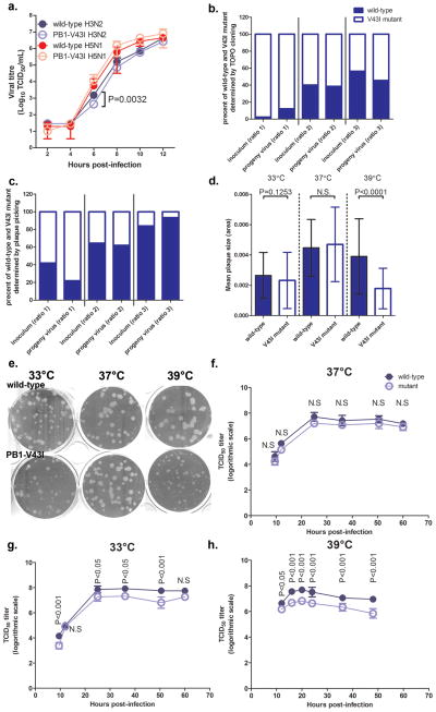 Replication kinetics of wild-type and PB1-V43I viruses under competition or suboptimal temperatures (a) One-step growth kinetics of wild-type and PB1-V43I H3N2 and H5N1 viruses using MOI 1–2 TCID 50 per cell in MDCK cells. Viral supernatants were collected every 2h post-infection and viral titres (mean ± SD log 10 TCID 50 per mL) from triplicates were shown. The replication kinetics has been repeated three times for the H3N2 wild-type and PB1-V43I viruses and once for the H5N1 wild-type and PB1-V43I viruses. (b) Competitive replication of wild-type and PB1-V43I mutant viruses in vitro . Wild-type and PB1-V43I viruses were premixed at different ratios prior to infection of MDCK cells. To determine the actual ratio in both the premixed (inoculum) and the viral supernatant after incubation for 2 days (progeny virus), clonal sequencing was performed to determine the ratio between Wuhan95 wild-type and PB1-V43I viruses. (c) As an alternative, in a separate experiment, instead of clonal sequencing, plaque assay was performed for the inoculums and passage-one viral supernatant after incubation for 2 days. Then, 32 clones were picked for each of the three inoculums and three corresponding passage-one viral cultures for viral RNA isolation and RT-PCR of the PB1 gene region that can distinguish wild-type virus from its V43I mutant counterpart. The actual ratio in the inoculums and the viral supernatant was shown in the same fashion. (d) Mean plaque sizes formed by the Wuhan95 wild-type and PB1-V43I viruses incubated at different temperatures. Wild-type or PB1-V43I mutant viruses were used to infect MDCK monolayers in triplicates and incubated under 0.5% agar overlay for 48 hours at 33°C, 37°C, or 39°C. The experiments were repeated independently twice and one representative result was shown. (e) Picture taken for the one representative plaque assay experiment performed for wild-type and V43I mutant viruses at the three temperatures. (f) Growth curve of wild-type and V43I muta