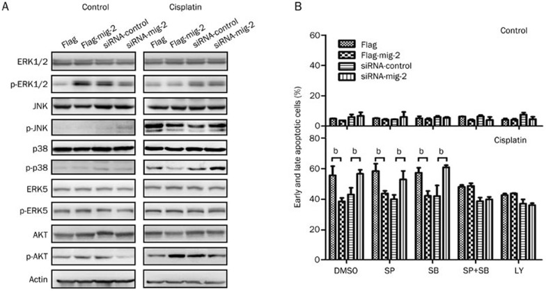 Analysis of pathways involved in mig-2-mediated cisplatin-induced apoptosis in H4 cells. Ectopic expression or knock-down of mig-2 in H4 cells treated with 40 μmol/L of cisplatin for 24 h. (A) Western blotting analysis of the total expression and activation of ERK1/2, <t>JNK,</t> p38, <t>ERK5</t> and AKT. (B) Analysis of mig-2-mediated cisplatin-induced apoptosis when cells were pretreated with JNK inhibitor (SP600125, SP), p38 inhibitor (SB203580, SB) or AKT inhibitor (LY294002, LY) for 1 h. The data are presented as the mean±SD from three independent experiments. b P