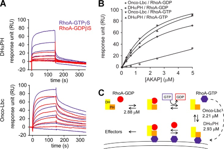Binding affinities of RhoA states for onco-Lbc and DHαPH. A , the dissociation constants of the RhoA-GDP·DHαPH, RhoA-GTP·DHαPH, RhoA-GDP·onco-Lbc, an d RhoA-GTP·onco-Lbc complexes were determined by surface plasmon resonance as illustrated by Biacore sensorgrams measured for onco-Lbc and DHαPH at varying concentrations (0–5 μ m ). B , the specific association of RhoA-GTP with the PH domain of onco-Lbc ( K d = 2.93 ± 0.37 μ m ) was contrasted with the inactive GDP-bound RhoA by surface plasmon resonance ( K d > 50 μ m ). The apparent dissociation constant of onco-Lbc that results from the binding of RhoA at two distinct sites was slightly lower for the active ( K d = 2.21 ± 0.26 μ m ) versus the inactive form of RhoA ( K d = 2. 88 ± 0.11 μ m ). C , model of the feedback mechanism triggered by RhoA-GTP binding. Following the association with RhoA-GDP, the DH domain of onco-Lbc exchanges the nucleotide of RhoA. Once released from the PH domain, RhoA-GTP translocates to membranes by virtue of its farnesylfarnesyl moiety ( dotted arrow ) and specifically recognizes the PH domain of onco-Lbc. The binding of RhoA-GTP by the PH domain does not compete with the GEF activity of the DH domain but rather constitutes a possible mechanism of regulation by orientation of onco-Lbc on the membrane by a PH domain that does not itself contain membrane-interacting sites.