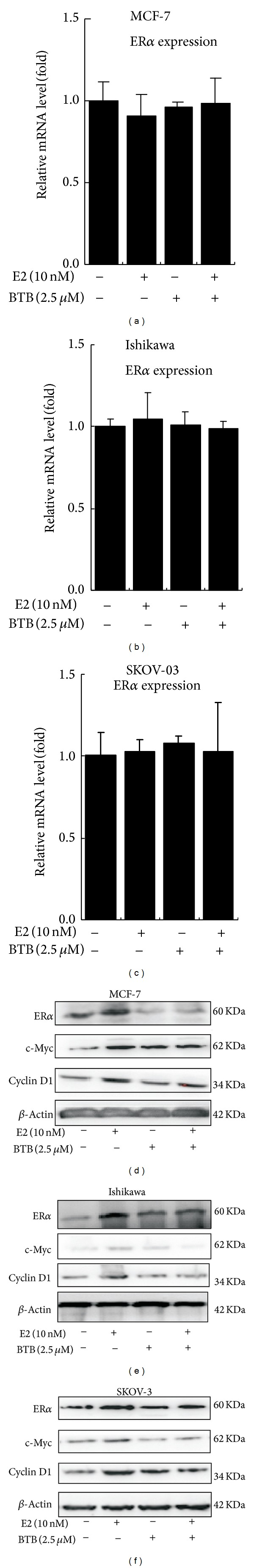 BTB reduces ER α , c-Myc, and <t>Cyclin</t> D1 protein expression levels in MCF-7, Ishikawa, and SKOV-3 cells but has no effect on ER α gene expression at mRNA level. Western blot analyses of ER α , c-Myc, and Cyclin D1 levels in control and 2.5 uM BTB treated MCF-7, Ishikawa, and SKOV-3 cells in the absence or presence of 10 nM E2. 50 μ g of total protein from cells was applied onto a 10% sodium dodecyl sulfate-polyacrylamide gel and subjected to electrophoresis followed by Western blot using anti-ER α , <t>anti-c-Myc,</t> or anti-Cyclin D1 antibodies. Representative graphs were shown from consistent results collected from three independent experiments.