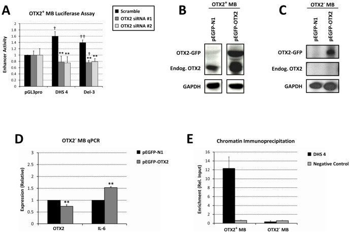 OTX2 regulates its own expression through the DHS 4 enhancer. (A) Luciferase assay for enhancer activity of DHS 4 in OTX2-expressing medulloblastoma cells treated with OTX2 siRNA. (B) Western blotting for ectopic and endogenous OTX2 following transfection of (B) OTX2-expressing or (C) OTX2-nonexpressing medulloblastoma cells with EGFP-tagged OTX2. (D) RT-qPCR demonstrating induction of the OTX2 target gene IL-6 in OTX2-nonexpressing medulloblastoma cells transfected with EGFP-tagged OTX2. (E) Chromatin immunoprecipitation of endogenous OTX2 in OTX2-expressing and -nonexpressing medulloblastoma cells. * p