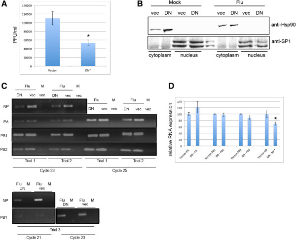 Expression of dominant negative Nxf1 decreases virus production and results in cytoplasmic reduction of select influenza mRNAs. A549 cells were transfected with plasmid to express dominant negative Nxf1 (DN) or vector control (vec) and infected with influenza A Udorn at 2.5 MOI 48 hours post transfection. A . Virus production at 12 hours post infection with influenza A Udorn. An asterisk indicates statistical difference between cells transfected with DN-Nxf1 compared to vec-control. Data presented is from biological triplicate trials. B . Cells transfected with DN-Nxf1 or vector for 48 hours and subsequently infected with influenza A Udorn at 2.5 MOI for 3.5 hours were fractionated. Cytoplasm and nuclear protein fractions were separated by SDS-PAGE and subject to Western blot to detect SP1 and Hsp90. Shown is a representative blot from one biological trial. C . RT-semi-qPCR of RNA isolated 3.5 hours post infection from the cytoplasm fraction. RNA was quantified and equal concentrations subject to RT with oligo dT. Gene specific PCR was performed using primers to amplify NP, PA, PB1 and PB2 as indicated. Data show sequential PCR cycles from three biological independent trials. D . RT-qPCR of RNA isolated from one of the above biological trials performed in triplicate. Delta Ct was calculated to determine relative RNA expression. Raw CT values were analyzed in Microsoft Excel using 2 ΔCt(average control- average treated) . Standard error was obtained by calculating the standard deviation of the sample set divided by the square root of the sample set size, and indicated using error bars. Significance was determined using a two-tailed T-Test conducted in Microsoft Excel, and judging any p value less than .05 as significant, indicated by an asterisk.