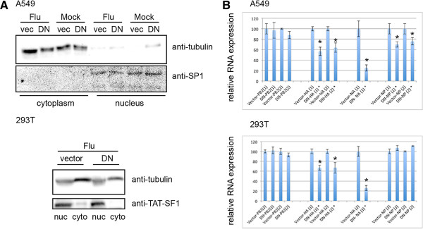 NP mRNA analysis reveals a cell type difference in dependence of Nxf1-mediated nuclear export. A549 and 293 T cells were transfected with plasmid to express dominant negative Nxf1 (DN) or vector control (vec), infected with influenza A Udorn at 2.5 MOI 48 hours post transfection, and fractionated 3.5 hours post infection. A . Cytoplasm and nuclear protein fractions were separated by SDS-PAGE and subject to Western blot to detect SP1, TAT-SF1, or tubulin. Shown is a representative blot from one biological trial. B . RT-qPCR of RNA isolated from the cytoplasm fraction. RNA was quantified and equal concentrations subject to RT with oligo dT. Gene specific PCR was performed using primers to amplify NP, PA, PB1 and PB2 as indicated. Data shown is from two biological independent trials of more than 5 repeats, each trial performed in triplicate PCR. Delta Ct was calculated to determine relative RNA expression. Raw CT values were analyzed in Microsoft Excel using 2 ΔCt(average control- average treated) . Standard error was obtained by calculating the standard deviation of the sample set divided by the square root of the sample set size, and indicated using error bars. Significance was determined using a two-tailed T-Test conducted in Microsoft Excel, and judging any p value less than .05 as significant, indicated by an asterisk.