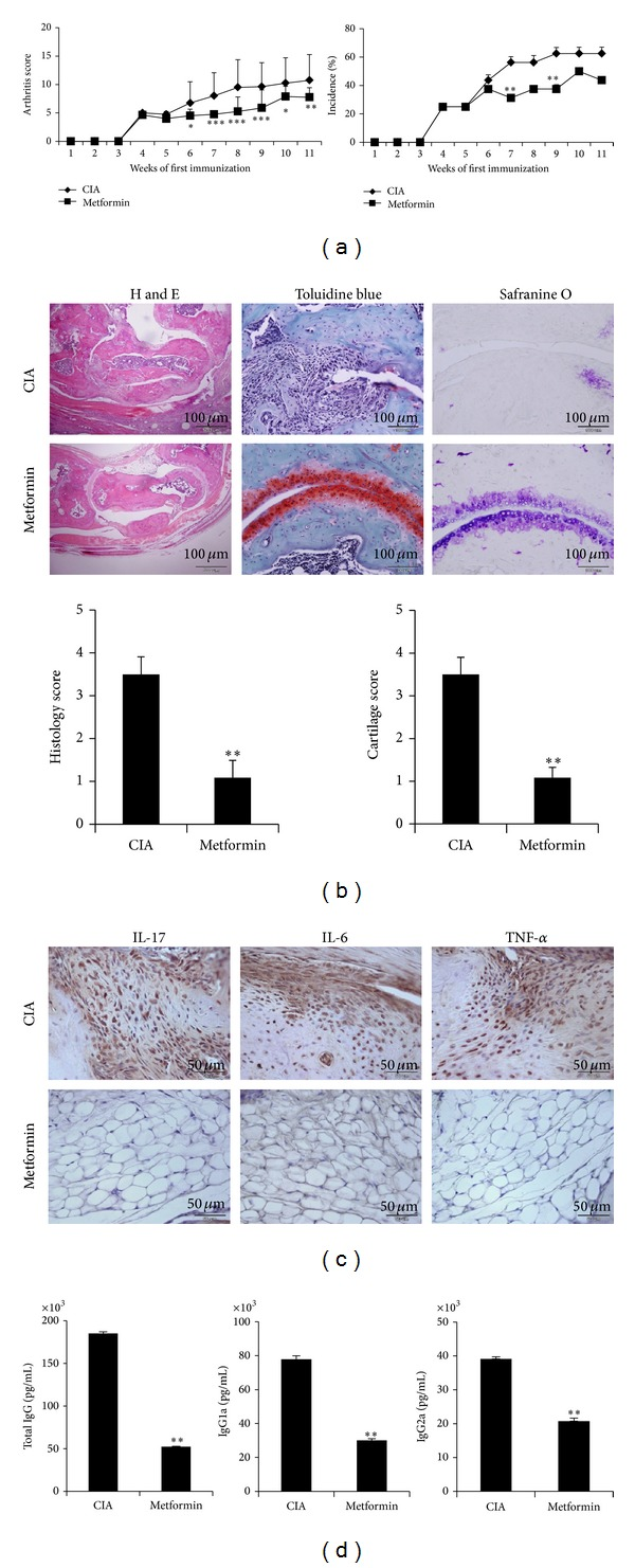 Therapeutic effects of metformin in CIA model. CIA was induced in C57BL/6 mice. Metformin 5 mg/mice ( n = 10) or saline ( n = 10) was oral feed three times into CIA in a week. Mice were sacrificed on day 70 after first immunization. (a) Clinical arthritis scores were determined. (b) The joint tissues from CIA: metformin-treated CIA mice were stained with H E, safranin O, and toluidine blue (original magnification, ×200). The average histopathological score is shown in bar graphs (below) (scale bar = 100 μ m). (c) Immunohistochemical detection of IL-17, IL-6, and TNF- α was stained in the synovium of CIA and metformin-treated CIA. All tissues were counterstained with hematoxylin (original magnification, ×400). All images were obtained for each mouse ( n = 10), showing representative images (scale bar = 50 μ m). (d) Mice serum was obtained on day 30 after CII immunization. The serum obtained after first immunization. The levels of <t>IgG,</t> <t>IgG1,</t> and IgG2a antibodies were measured from each group. Mean ± SD of three independent experiments (* P