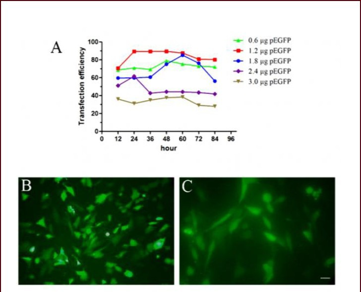 Green fluorescent protein (GFP) expression in C17.2 neural stem cells after transfection. (A) C17.2 neural stem cells were transfected with 0.6, 1.2, 1.8, 2.4 or 3.0 μg pEGFP expression plasmid. 1.2 μg of pEGFP displayed the most effective transfection rate of more than 85% at different time points post-transfection. Results were assessed using GFP fluorescence intensity. (B, C) C17.2 neural stem cells abundantly expressed the GFP protein (green) 24 hours after transfection (visualized under an inverted fluorescence microscope). (B) Scale bar: 200 μm; (C) scale bar: 50 μm.