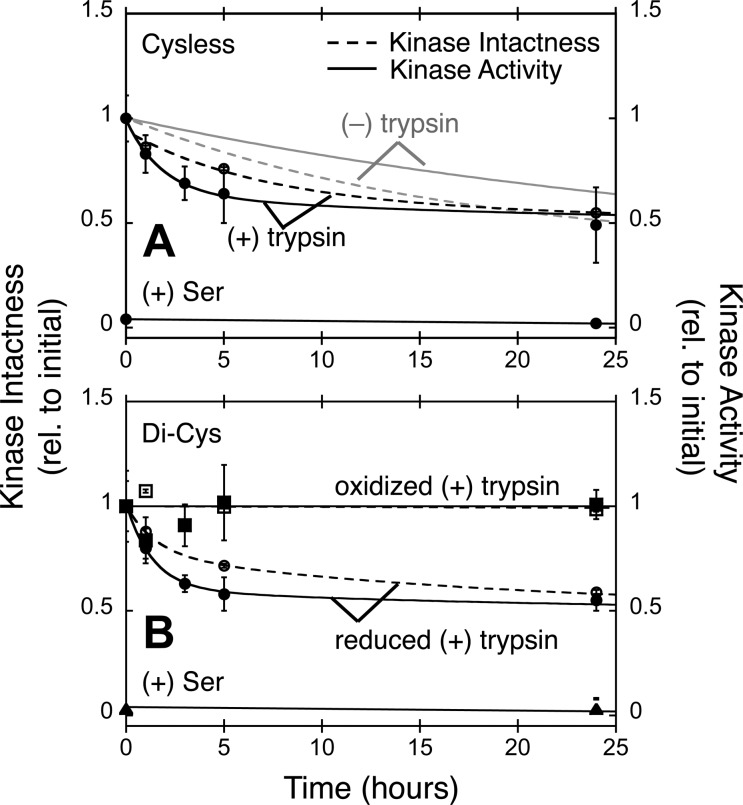Effect of a disulfide bond bridging a core unit interface on susceptibility to proteolysis. A 24 h time course illustrating the effects of added trypsin on Cysless and di-Cys complexes possessing the kpD586C/apN50C Cys pair (see the legends of Figures 2 and 3 ). Each plot summarizes the decay of intact, full-length kinase (Kinase Intactness, dashed line and empty symbols) and of kinase enzyme activity (Kinase Activity, solid line and filled symbols). Addition of attractant (Ser) is observed to fully inhibit, within error, receptor-mediated stimulation of kinase activity. Table 3 summarizes the kinetic parameters. (A) Decay time courses of control, reconstituted Cysless complexes showing that in the absence of trypsin the decay exhibits the usual quasi-stable (τ = 35–42 h for 50% of the population) and ultrastable (τ ≫ 42 h for 50% of the population) components. Trypsin speeds the decay of most of the quasi-stable component (τ = 1.8–6.3 h for 30–40% of the population, and τ = 35–42 h for 10–20% of the population), whereas trypsin has no detectable effect on the ultrastable component (τ ≫ 48 h for 50% of the population). (B) Decay time course of reconstituted di-Cys complexes containing the reduced Cys pair or the oxidized disulfide linkage, both in the presence of trypsin. For reduced di-Cys complexes, as for Cysless complexes (see panel A), trypsin speeds the decay of most of the quasi-stable component (τ = 1.4–1.5 h for 20–40% of the population, and τ = 35–42 h for 10–30% of the population), whereas trypsin has no detectable effect on the ultrastable component (τ ≫ 48 h for 50% of the population). In striking contrast, the oxidized di-Cys complexes possess no detectable quasi-stable component, and the ultrastable component is fully resistant to trypsin on the examined time scale (τ ≫ 48 h for 100% of the population).