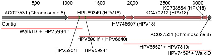 Alignment of RGW sequence and HPV specific sequencing from this study to published sequences on human chromosome 8 and <t>HPV18</t> sequences. Positions of the primers used for detection of the HPV18 target sequence in the enrichment (HPV5901f and HPV5994r) are illustrated by small triangles in HPU89349.
