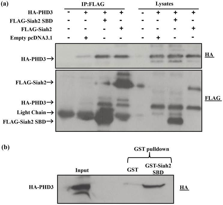 "Interaction of Siah2 with PHD3. ( a ) HEK293 cells were transfected in 60-mm cell culture plates for 2 days with the indicated expression plasmids. The cells were lysed, and the lysates were subjected to FLAG immunoprecipitation (IP), as described under "" Materials and Methods "". Aliquots of the cell lysates and immunoprecipitates were analyzed by western blotting with the anti-HA antibody. Both full length Siah2 and Siah2 SBD bind to PHD3 to the same extent. In the IP, the presence of the faint band in the empty vector lane is due to non-specific binding of PHD3. The same membrane was reblotted with FLAG antibody to detect FLAG tagged Siah2 proteins. ( b ) GST-Siah2 SBD pulldown of HA-PHD3. Cell lysate of HEK293 cells transfected with HA-PHD3 was incubated with GST-Siah2 SBD immobilized on GSH agarose beads and the reaction was performed as described under "" Material and Methods "". The empty expression vector alone was expressed as a GST control for non-specific binding of HA PHD3. After the incubation, the lysate was removed, the GSH-agarose beads were washed, and bound HA-PHD3 was analyzed by Western blotting using anti HA antibody. The pull down assay confirmed the interaction of Siah2 SBD with PHD3."