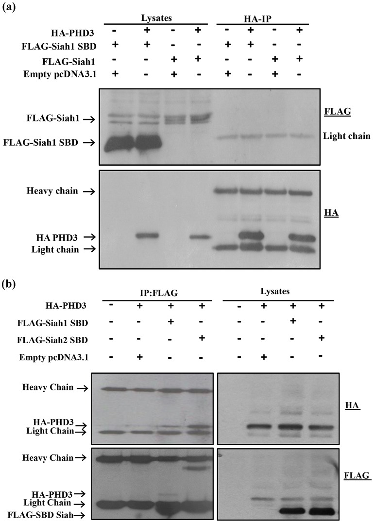 Siah1 exhibits weak binding compared to Siah2 with PHD3. HEK293T cells were transfected in 60-mm cell culture plates for 2 days with expression plasmids for the proteins indicated at the top of each panel. ( a ) Cell lysates were subjected to HA-IP and aliquots of the cell lysates and immunoprecipitates were analyzed by western blotting with the anti-FLAG antibody. Both the Full length and Siah1 SBD did not show binding to PHD3 ( b ) The lysates were subjected to reciprocal FLAG-IP. Immunoprecipitates and aliquots of the cell lysates were analyzed by Western blotting with anti-HA and anti-FLAG antibodies. In the IP, FLAG-SBD overlaps with the IgG light chain. Compared to Siah2 SBD, only weak binding of Siah1 SBD to PHD3 was observed.