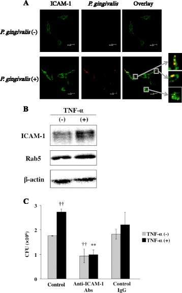ICAM-1 mediates invasion of P. gingivalis. (A) Ca9-22 cells were incubated with P. gingivalis for 1 h. The cells were then stained using anti-ICAM-1 antibody. ICAM-1 is shown in green and P. gingivalis is shown in red. Bars in each panel are 10 μm. (B) TNF-α increased expression of ICAM-1 in Ca9-22 cells. Ca9-22 cells were treated with 10 ng/ml of TNF-α for 3 h. The cells were lysed and the expression of ICAM-1 and Rab5 was analyzed by Western blotting with antibodies for each molecule. (C) Antibody to ICAM-1 inhibits invasion of P. gingivalis in cells. Ca9-22 cells were treated with TNF-α for 3 h and were then incubated with an anti-ICAM-1 antibody or a control IgG antibody for 2 h. Viable P. gingivalis in the cells was determined as described in Methods . (Means ± standard deviations [SD] [n = 3]). ††, P