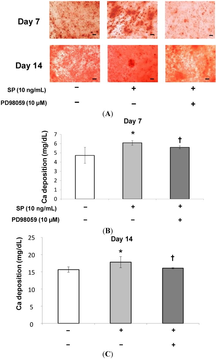 Effect of SP on mineralization. ( A ) Confluent MSCs were stained with Alizarin Red after 7 or 14 days of cultivation in osteogenic medium containing SP (0 or 10 ng/mL), or SP (10 ng/mL) with the ERK 1/2 inhibitor, PD98059 (10 µM). Scale bar = 100 µm; ( B , C ) The extracellular calcium deposition was measured at 7 or 14 days. * p