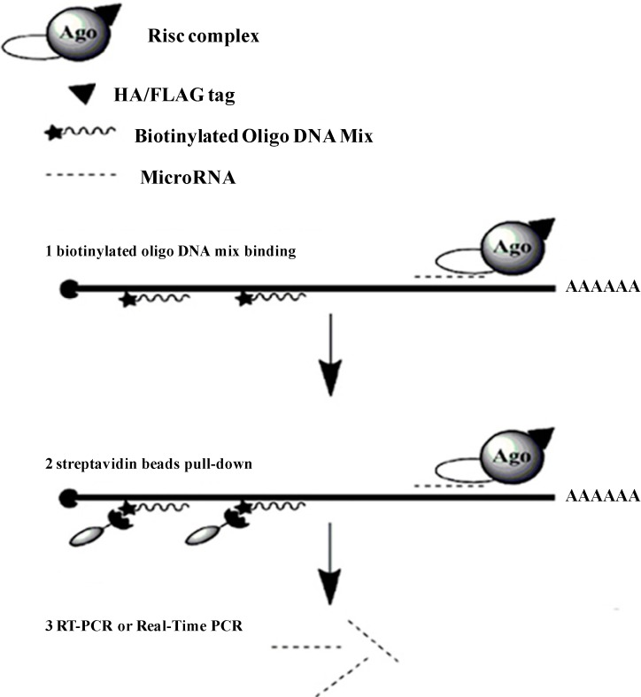 The pull-down strategy of the determination of the microRNAs (miRNAs) that target to a specific gene. Extracts from the cells that over-expressed a tagged Argonaute protein are first incubated with biotinylated oligo DNA mix, and then affinity purified on streptavidin beads. MiRNAs are quantified by real time quantitative PCR (qRT-PCR).