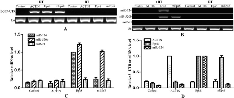 mRNA:miRNAs isolation technique for Eps8 and its target miRNAs. ( A ) The enrichment of RNA chimeric mRNAs of EGFP -3'-UTR demonstrated the efficiency of isolation technique; ( B ) The regulated miRNAs of Eps8 were obtained from the product that was transfected with 3'-UTR-Eps8 through semi-quantitative PCR. At the same time, miRNAs that without binding sites could not be amplified from these products; ( C ) The levels of detected miRNAs were verified using qRT-PCR after the process of isolation technique; and ( D ) qRT-PCR showing the relationship between mRNA and their target miRNA after the isolation. RT: Reverse Transcriptase.
