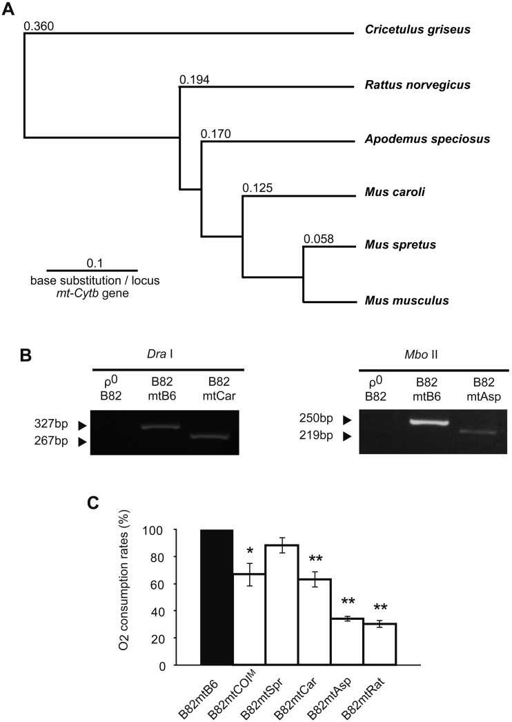 Characterization of transmitochondrial cybrids with mtDNA from various rodent species. Transmitochondrial cybrids B82mtB6, B82mtSpr, B82mtCar, B82mtAsp, and B82mtRat possessed nuclear DNA from M. musculus and mtDNA from M. musculus , M. spretus , M. caroli , A. speciosus and R. norvegicus , respectively. B82mtCOI M cybrids possessed M. musculus mtDNA with a pathogenic T6589C mutation in the mt-Co1 gene that induces respiration defects [ 11 ]. (A) Phylogenetic trees constructed by comparison of the sequence of the mt-Cytb gene encoded by mtDNA. On the basis of Kimura's two-parameter model [ 24 ], we used mt-Cytb gene sequence data (positions 14139 to 15266) to create phylogenetic trees with PHYLIP software (http://www.phylip.com/). Branch lengths show evolutionary distance from M. musculus . The tree is rooted using Cricetulus griseus (Chinese hamster) sequence data. Values on each branch indicate base substitution in the mt-Cytb gene. (B) Genotyping of mtDNA. On Dra I digestion of the PCR products, B82mtB6 cells with M. musculus mtDNA gave a 327-bp fragment, whereas B82mtCar cells with M. caroli mtDNA gave a 267-bp fragment and a 39-bp fragment (not detectable) by a gain of a Dra I site and a 21-bp deletion in the mt-Dcr region. On Mbo II digestion of the PCR products, B82mtB6 cybrids with M. musculus mtDNA gave a 250-bp fragment, whereas B82mtAsp cybrids with A. speciosus mtDNA gave a 219-bp fragment and a 31-bp fragment (not detectable) by the gain of an Mbo II site in the mt-Cytb gene. (C) Estimation of O 2 consumption rates. B82mtB6 cells carrying nuclear and mitochondrial genomes from M. musculus were used as standards expressing normal respiratory function. Asterisks indicate a P -value less than 0.05 and double asterisks indicate a P -value less than 0.01.