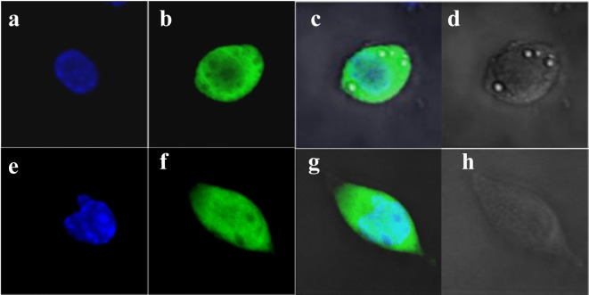 The localization of UCH-L1 protein in αT3-1 and LβT-2 cells. To examine the localization of UCH-L1 protein in αT3-1 (upper panels) and LβT-2 cells (lower panels), immunofluorescent staining of UCH-L1 was conducted. TO-PRO-3 was used to visualize the nuclei (a, e). UCH-L1 (b, f), the merged (c, g) and transparent images (d, h) are presented. Images were photographed using a Zeiss LSM 510 confocal microscope.