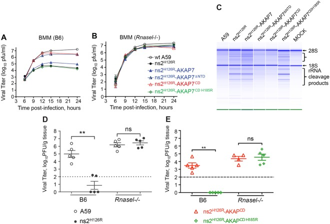 Expression of the N-terminal truncation or the CD of AKAP7 restores the replication of mutant ns2 in vitro and in vivo . Growth kinetics of chimeric AKAP7 viruses were determined on BMM from B6 mice (A) and Rnasel −/− mice (B). BMM were infected with each virus (as indicated) at an MOI of 1. Samples of the cultured supernatant were taken at the indicated time points, and viral titers were determined by plaque assays. The data are from one representative experiment of at least two, each performed in triplicate. (C) AKAP7 CD and N-terminally truncated proteins inhibit rRNA degradation during viral infection. B6 BMM were infected (MOI of 1) and harvested at 10 h postinfection, and the integrity of total cellular RNA was analyzed on RNA chips (Agilent). (D and E) Four-week-old B6 or Rnasel −/− mice were infected with 2,000 PFU/mouse intrahepatically with A59 and ns2 H126R (D) or ns2 H126R AKAP7 CD and the double mutant ns2 H126R AKAP7 CD H185R (E). At day 5 postinfection, mice were sacrificed, and viral titers in the liver were determined by plaque assays. The dashed line represents the limit of detection, and error bars represent standard errors of means ( n = 5). Asterisks indicate that differences are statistically significant (**, P