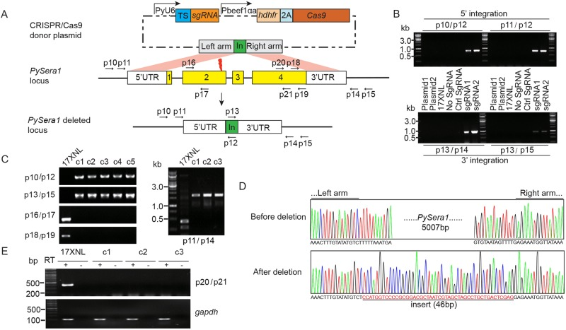 CRISPR/Cas9-mediated deletion of Plasmodium yoelii sera1 gene. (A) Schematic construct for disrupting the Pysera1 gene. The plasmid contains Cas9 and sgRNA expression cassettes and donor template for HR repair after a double-strand break (DSB) at the 3′ end of the Pysera1 exon 2 (red thunderbolt). The DNA inserted (In) between the left and right arms was added to detect donor integration in the design of the PCR primers. Exons 1 to 4 are indicated by the yellow boxes. TS (blue box) indicates the sgRNA target sequence. The positions and directions of primers p10 to p21 are indicated by the small black arrows. (B) PCR analysis of 5′ and 3′ integrations in P . yoelii 17XNL parasite and plasmid-transfected uncloned cultures. The positions of primers (e.g., p10/p12) are shown in panel A. Ctrl, control. (C) PCR screening of clonal parasites for targeted Pysera1 deletion. DNAs from five individual clones (c1 to c5) and from 17XNL parasite were screened. (D) DNA sequencing confirms a 5.0-kb deletion in the Pysera1 gene from clonal parasite c1. The top panel shows the partial nucleotide sequence of the left and right arms from parental strain 17XNL. The bottom panel shows the 46-bp DNA insert between the left and right arm sequences in clone c1. (E) RT-PCR of Pysera1 mRNA from parental strain 17XNL and clones c1, c2, and c3, showing the lack of Pysera1 transcription in the three cloned lines. PCR amplification of the cDNA after reverse transcription (+) and PCR amplification of the RNA without reverse transcription (−) are indicated. P . yoelii gapdh mRNA serves as the endogenous control.