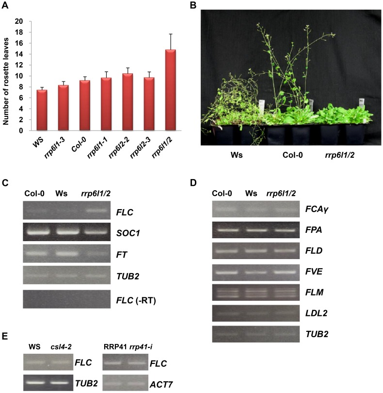 The rrp6l1-3 and rrp6l2-3 mutants affect flowering time and gene expression. (A) The late-flowering phenotype of rrp6l1 and rrp6l2 mutants grown under long day conditions. Flowering time was measured as rosette leaf number at bolting. To control for effects of ecotype, the phenotype of mutants was compared to wild-type plants of Col-0 and Ws ecotypes. Error bars represent standard deviation (SD). (B) The late-flowering phenotype of rrp6l1-3 rrp6l2-3 mutants grown under short day conditions. 66-day-old plants are shown. (C) Effect of rrp6l1-3 and rrp6l2-3 mutations on the expression of the FLC , SOC1 and FT . RT-PCR showed that the rrp6l1-3 rrp6l2-3 double mutant ( rrp6l1/2 ), has increased expression of FLC and decreased expression of SOC1 and FT , which act downstream of FLC . (-RT) is the no reverse transcriptase control. (D) The expression of FCA , FPA , FLD , FVE , FLM , and LDL2 , genes involved in regulation of flowering time in the autonomous flowering pathway, is not affected in rrp6l1/2 mutants. (E) FLC expression is not affected in AtCSL4 -2 T-DNA mutant and RRP41 iRNAi line. RRP41 corresponds to the iRNAi line grown without estradiol, and rrp41-i corresponds to line grown on estradiol-containing medium, to induce the RNAi-mediated knockdown of RRP41 . TUBULIN 2 and ACTIN 7 were used as loading controls.